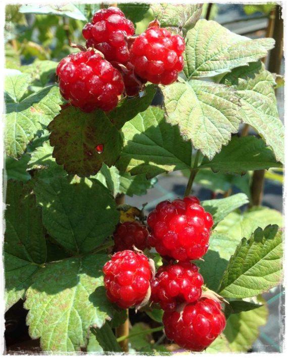 Dormanberry