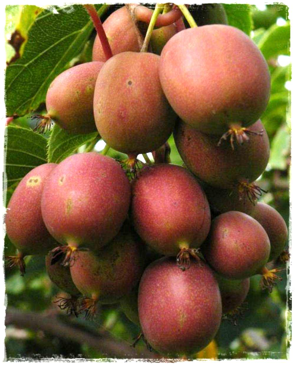 Kiwi arguta 39 ken 39 s red 39 vendita piante online for Kiwi pianta