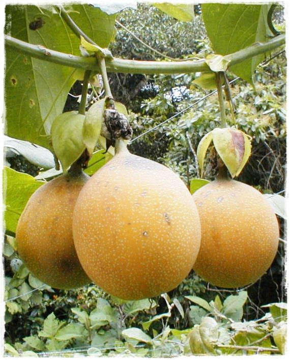 granadilla frutto