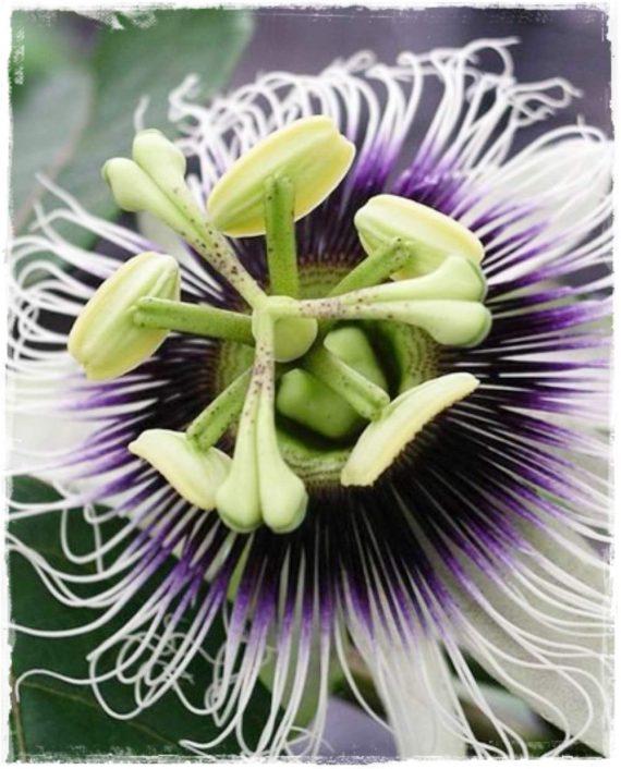 passiflora edulis fiore