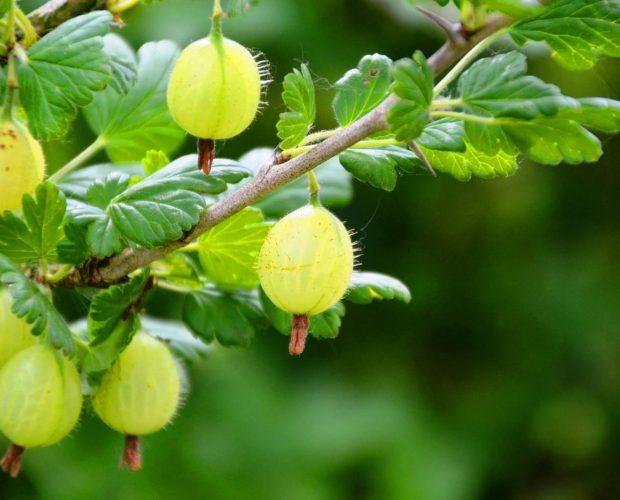 Uva Spina Vendita Piccoli Frutti
