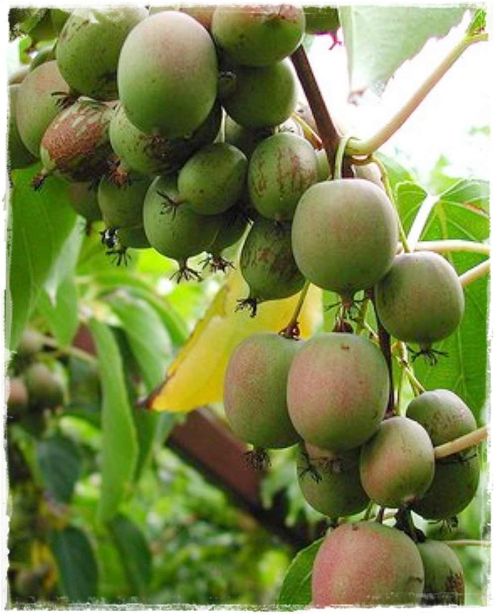 kiwi arguta 39 bayern 39 vendita piante online