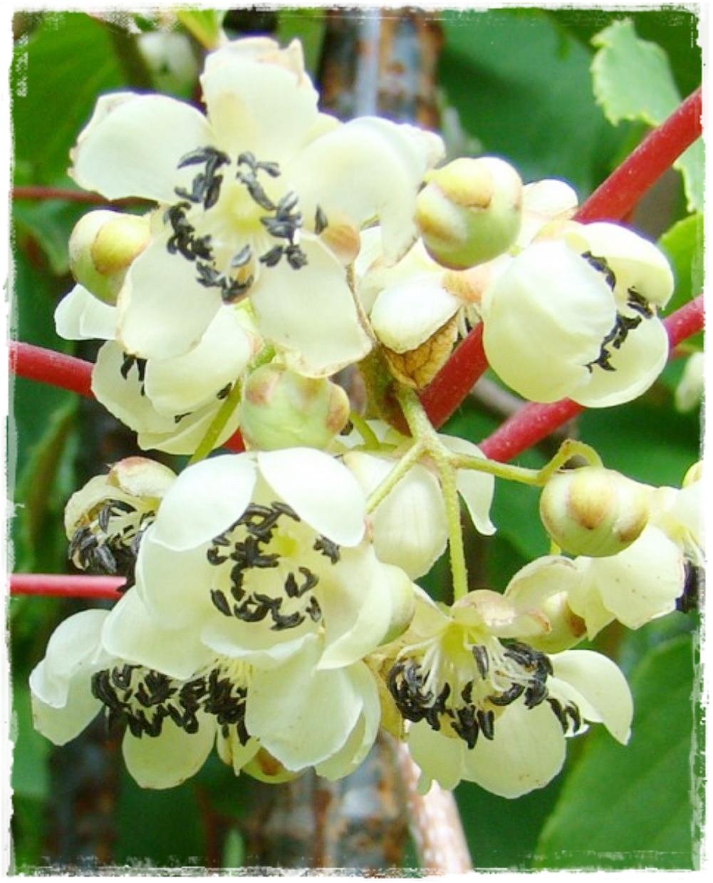 Kiwi arguta 39 impollinatore 39 vendita piante online for Kiwi pianta