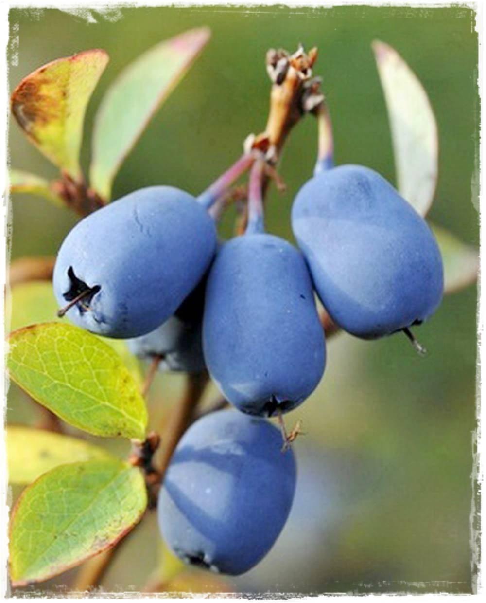 Mirtillo siberiano 39 blue velvet 39 lonicera kamtschatica for Vendita piante mirtillo on line