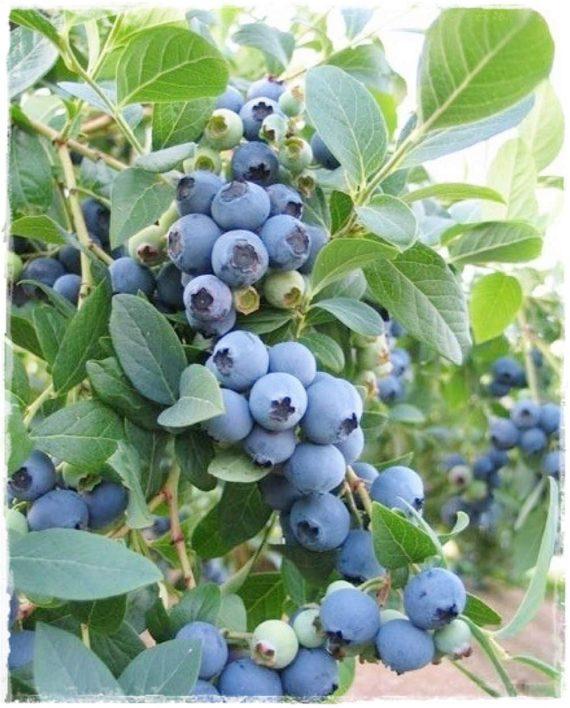 Mirtillo gigante 39 bluecrop 39 vaccinium corymbosum vendita for Vendita piante mirtillo on line