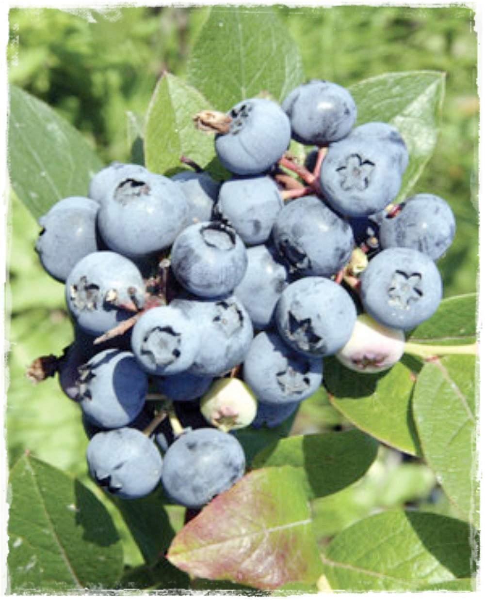 Mirtillo americano 39 bluejay 39 vaccinium corymbosum for Vendita piante mirtillo on line