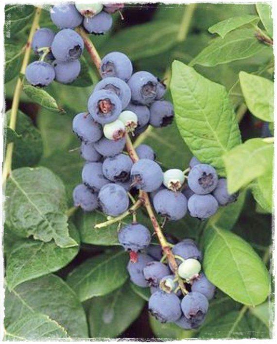 Mirtillo gigante americano 39 blueray 39 vaccinium corymbosum for Vendita piante mirtillo on line