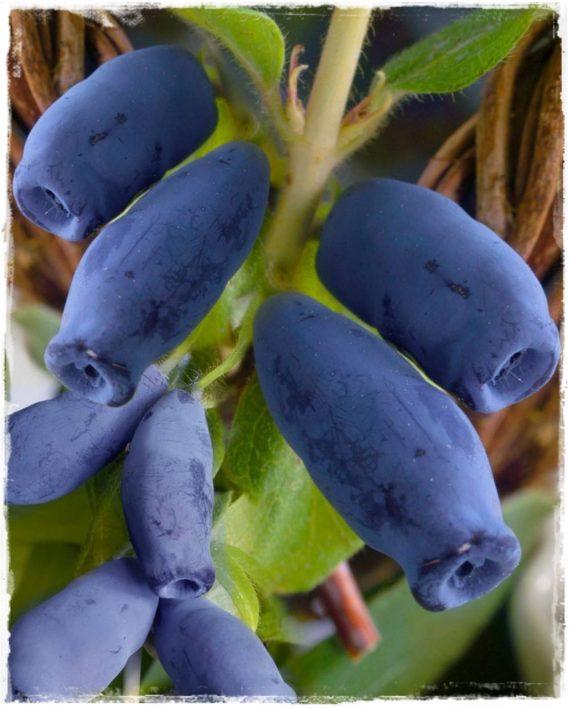 Mirtillo siberiano 39 borealis 39 lonicera kamtschatica for Vendita piante mirtillo on line
