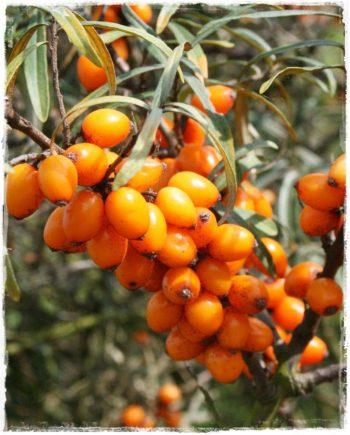 olivello leikora