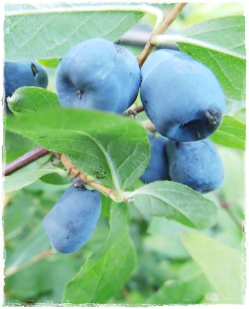 Mirtillo siberiano 39 nimfa 39 lonicera kamtschatica vendita for Vendita piante mirtillo on line