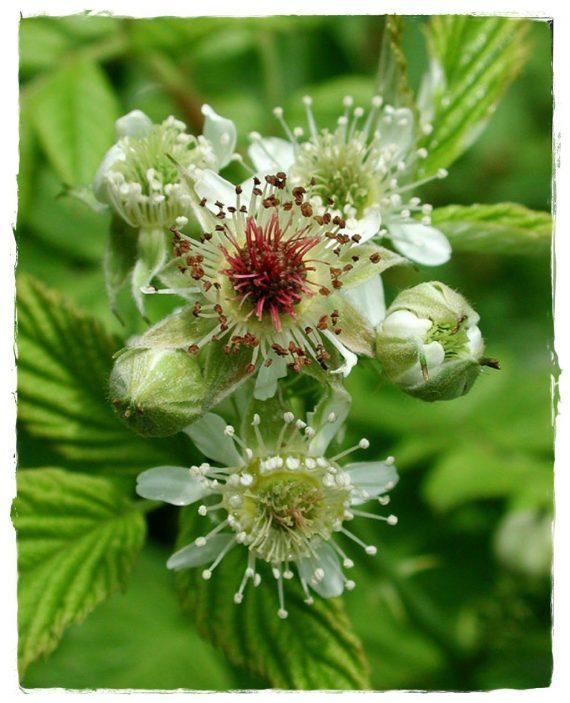lampone nero fiore