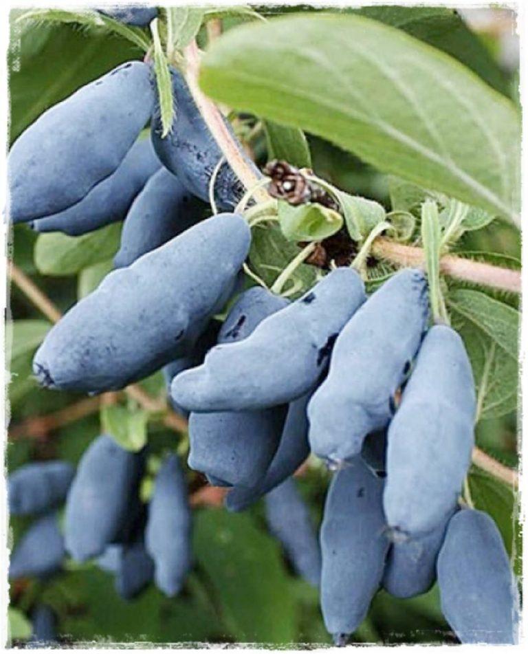 Mirtillo siberiano 39 siniczka 39 lonicera kamtschatica for Vendita piante mirtillo on line