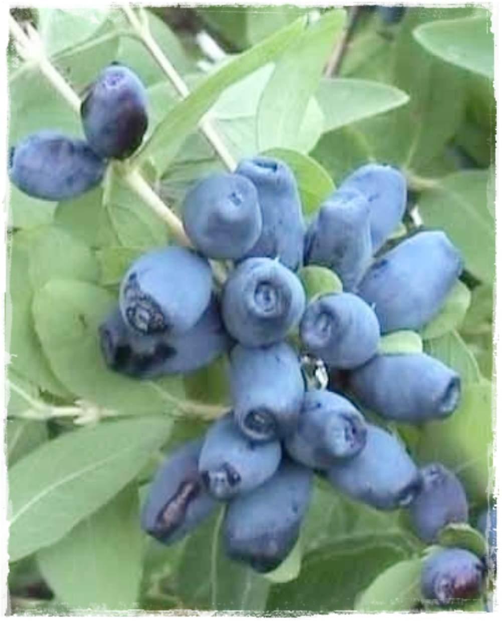 Mirtillo siberiano 39 czelabinka 39 lonicera kamtchatica for Vendita piante mirtillo on line
