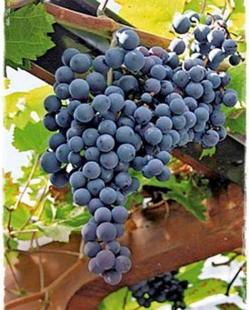 uva muscat bleu