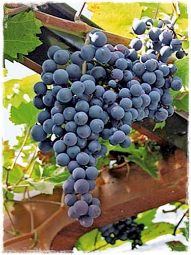 Vite muscat bleu vendita piante online - Coltivare uva da tavola in vaso ...