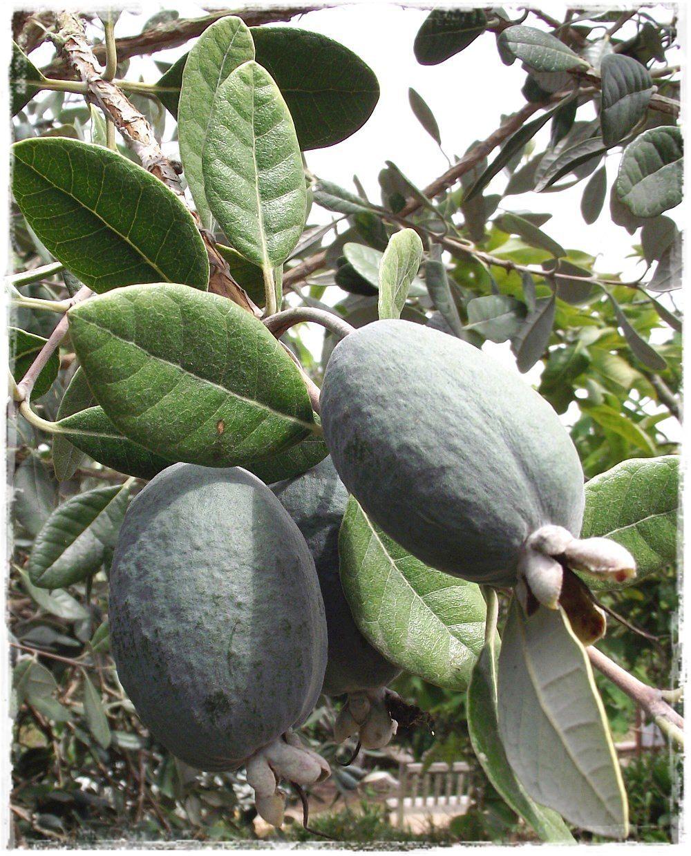 Feijoa 39 triumph 39 acca sellowiana vendita piante online for Pianta feijoa