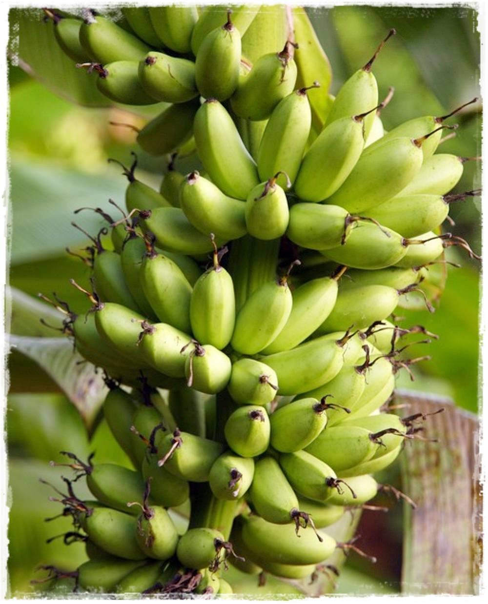 Pianta Di Banana Foto banano nano 'musa paradisiaca'