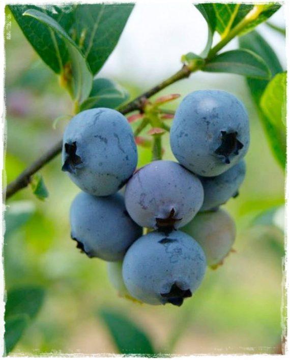Mirtillo gigante americano 39 brigitta blue 39 vacciunium for Vendita piante mirtillo on line