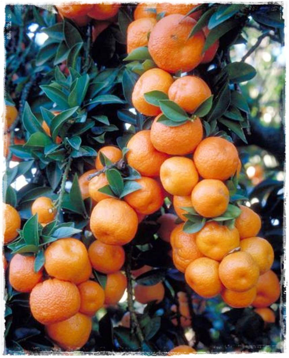 Chinotto vendita piccoli frutti for Citrus myrtifolia