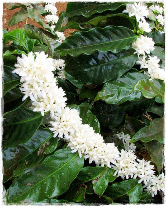 coffea arabica fiore