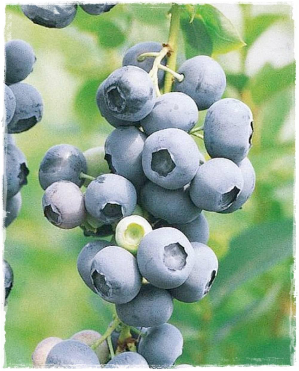 Mirtillo americano 39 duke 39 vacciunium corymbosum vendita for Vendita piante mirtillo on line