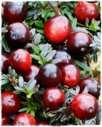 CRANBERRY EARLY BLACK