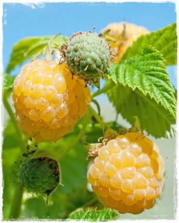 yellow raspberry fallgold