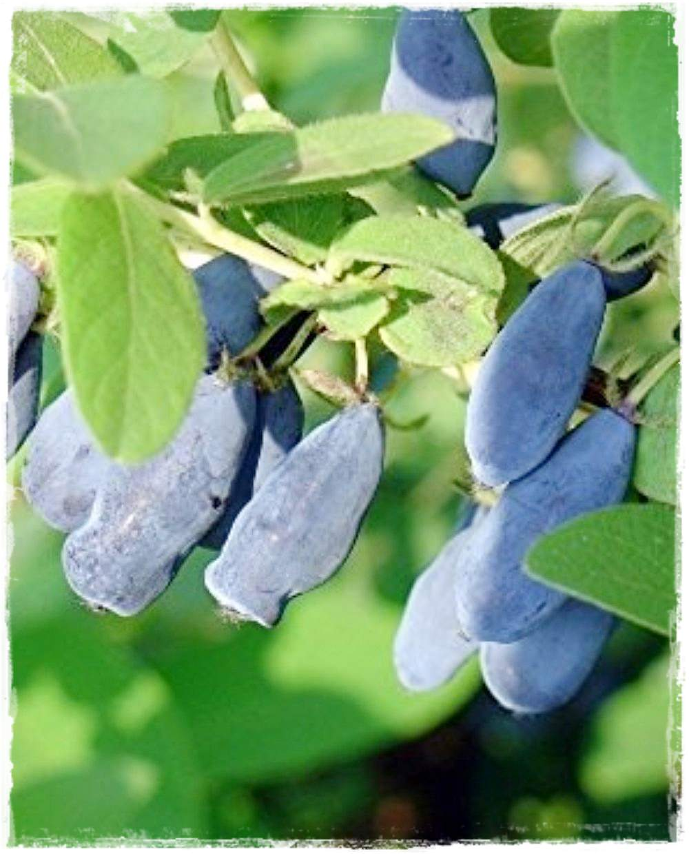 Mirtillo siberiano 39 fialka 39 lonicera kamtschatica for Vendita piante mirtillo on line