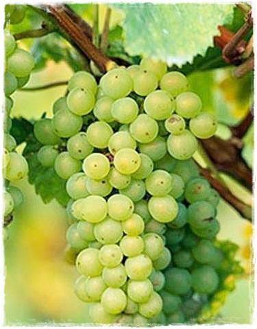 Barbatelle 39 fragola bianca 39 vendita piante di viti for Piante fragola vendita
