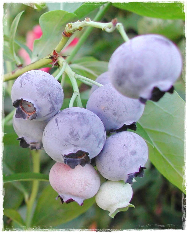 Mirtillo americano 39 goldtraube 39 vaccinium corymbosum for Vendita piante mirtillo on line