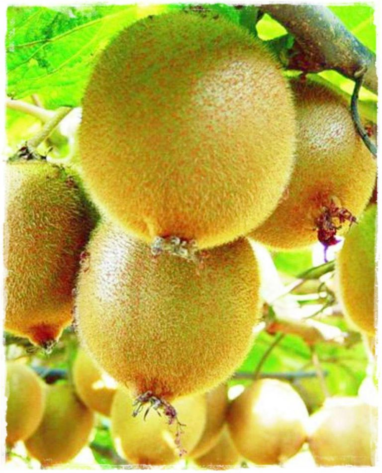 kiwi giallo 39 aronold 39 autofertile vendita piante online