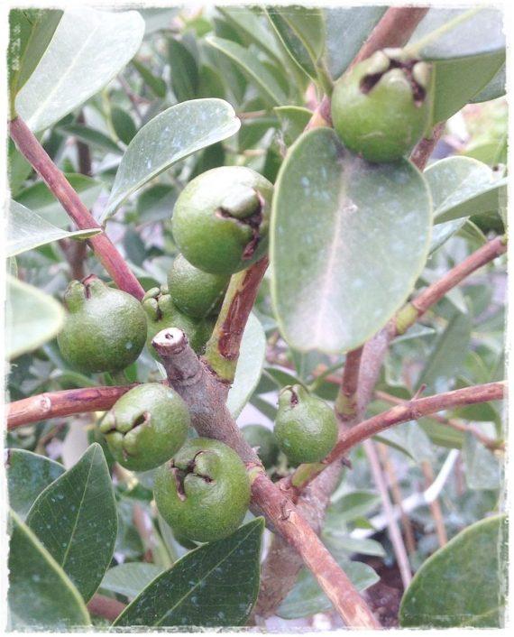 guava gialla