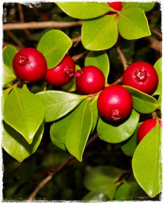 guava rossa