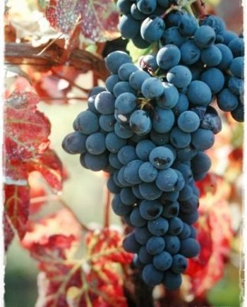 uva incrocio terzi