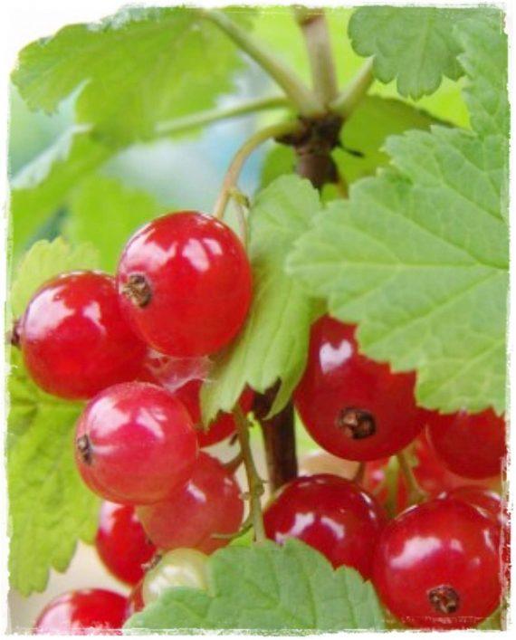 Ribes rbrum 'Jonkheer van Tets'