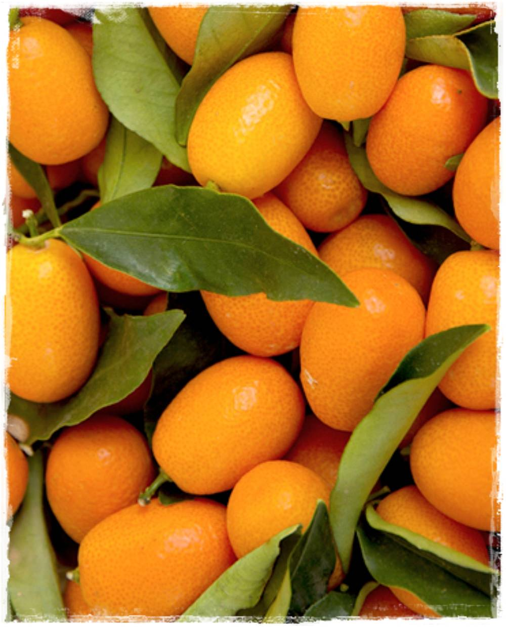 Kumquat ovale citrus fortunella margarita vendita piante for Piante agrumi online