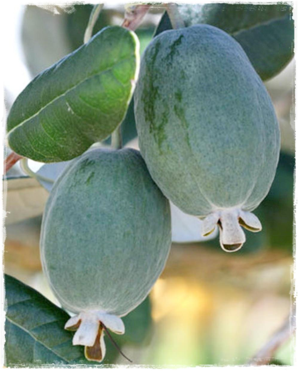 Feijoa 39 mammouth 39 acca sellowiana vendita piante online for Pianta feijoa