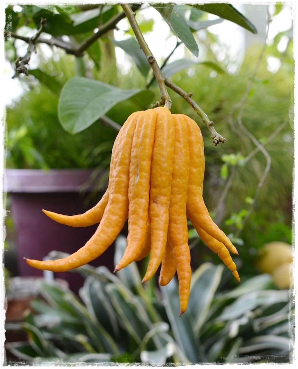 Cedro mano di buddha citrus medica vendita piante online for Piante di cedro vendita