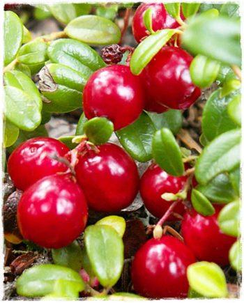 mirtillo rosso piligrim
