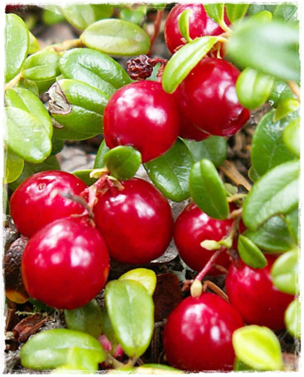 Mirtillo rosso 39 pilgrim 39 cranberry vaccinium macrocarpon for Vendita piante mirtillo on line