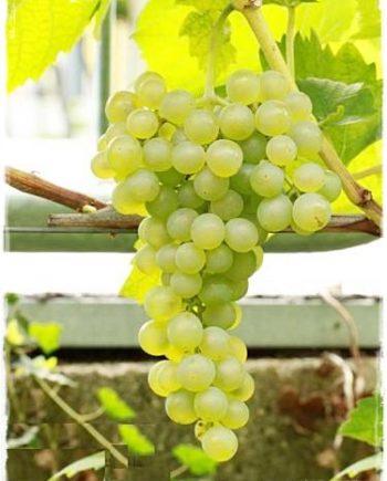 uva sophia