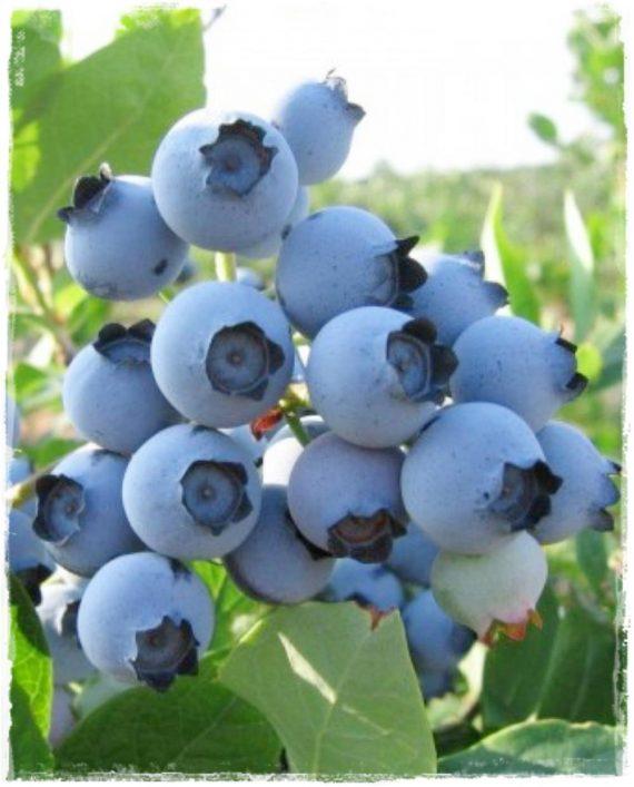 bluberry spartan
