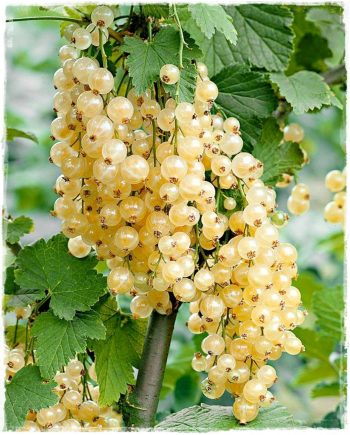 currant white pearl