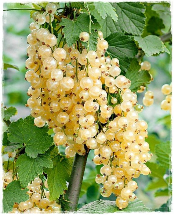 ribes white pearl