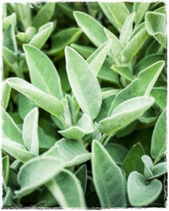 salvia longifolia