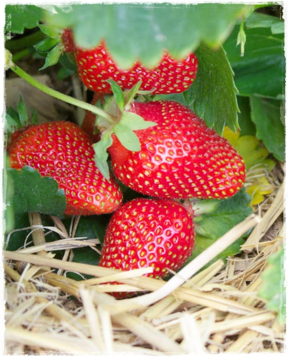 Fragola rifiorente 39 charlotte 39 vendita piccoli frutti for Pianta di fragole