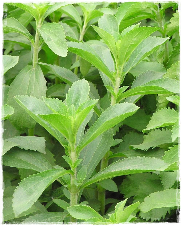 Stevia rebaudiana vendita piante online for Stevia pianta