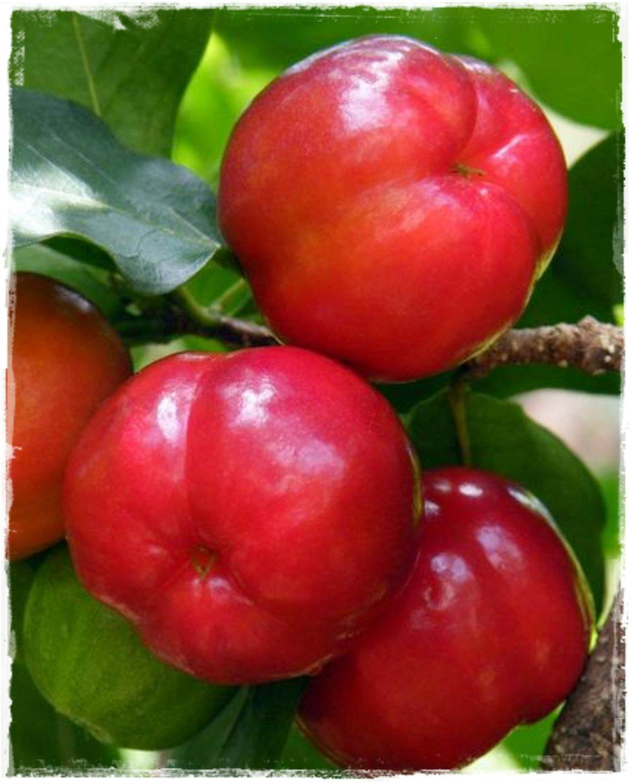 Acerola malpighia glabra vendita piante online for Vendita piante esotiche