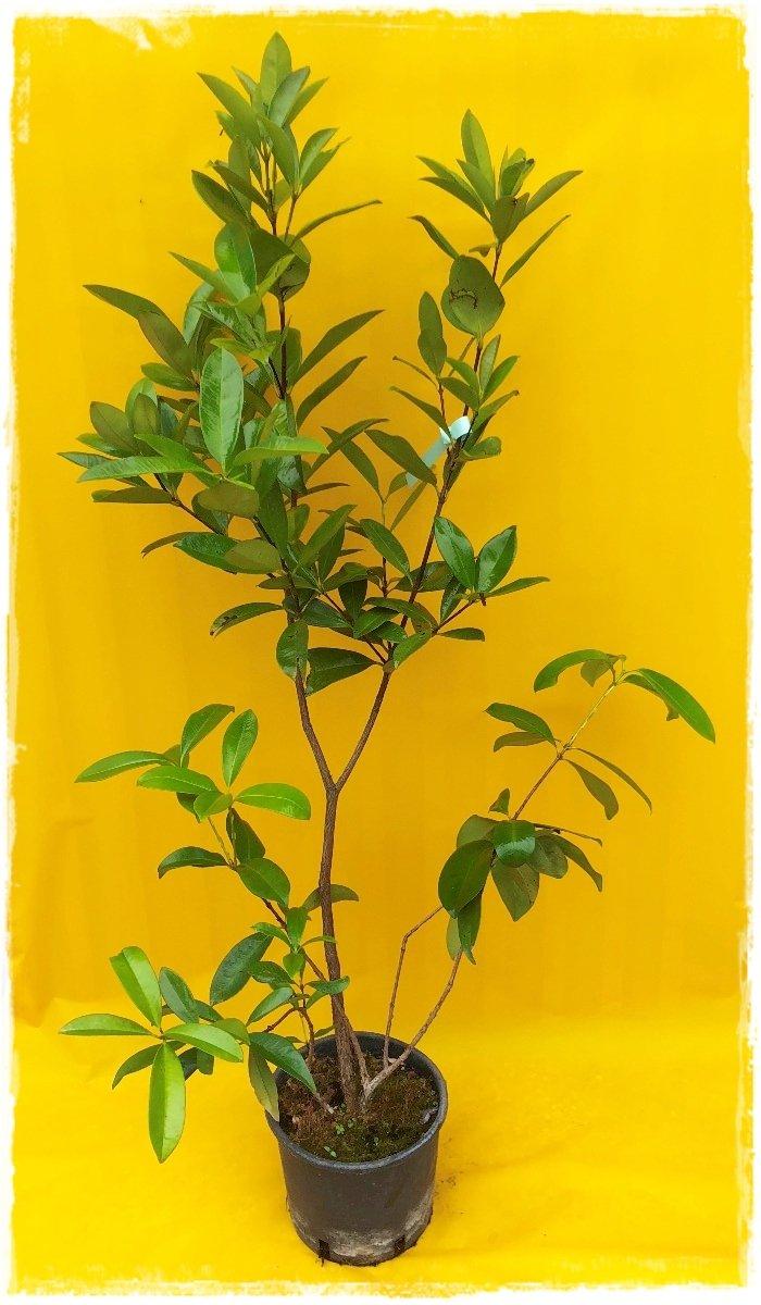 Grumichama 39 eugenia brasiliensis 39 vendita piante online for Pianta eugenia