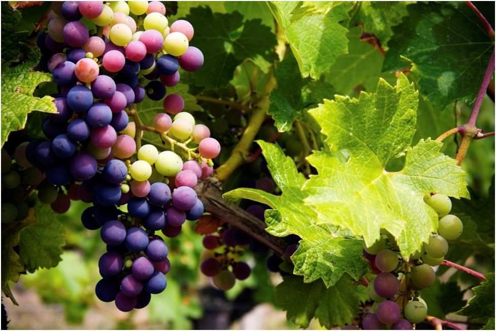 Viti da vino 39 resistenti alle malattie 39 barbatelle for Barbatelle di vite